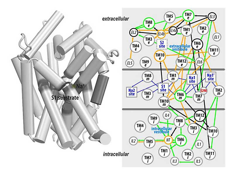 Computational approaches to detect allosteric pathways in transmembrane molecular machines.