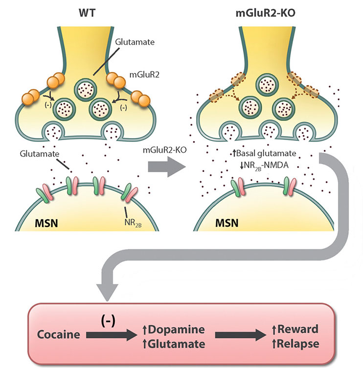 Deletion of Type 2 Metabotropic Glutamate Receptor Decreases Sensitivity to Cocaine Reward in Rats.