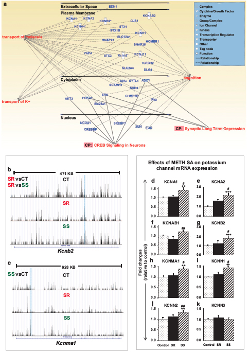 Genome-wide DNA hydroxymethylation identifies potassium channels in the nucleus accumbens as discriminators of methamphetamine addiction and abstinence.