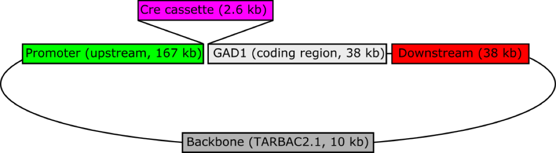 Figure 1:  A schematic of the Gad1-iCre transgene.