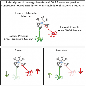 A figure from this study: Lateral preoptic area glutamate and GABA neurons provide convergent nerotransmission onto single lateral habenula neurons
