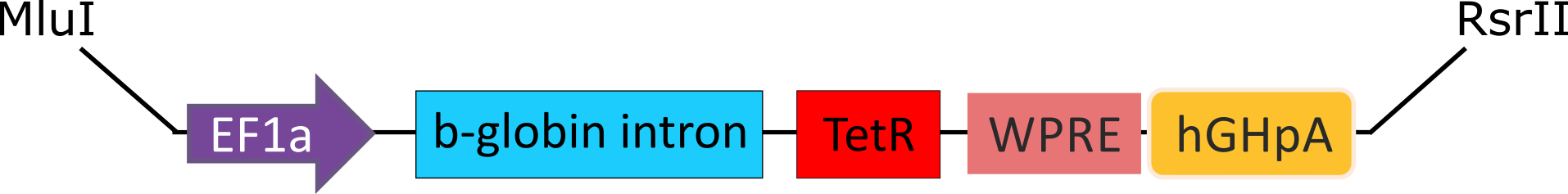 Figure 1. Schematic of the EF1a-TetR transgene.