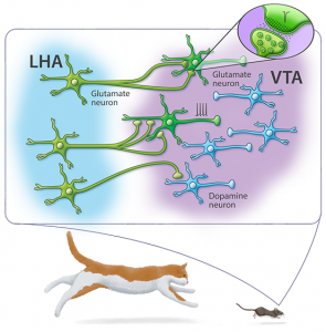 Defensive escape behavior is mediated by ventral tegmental area (VTA) glutamatergic neurons that receive excitatory inputs from lateral hypothalamic area (LHA) glutamate fibers. Lateral hypothalamic area glutamate neurons convey information on innate threats by establish excitatory synapses more frequently on ventral tegmental are glutamate neurons than on dopamine neurons. Activation of ventral tegmental area glutamate neurons by lateral hypothalamic area glutamate fibers encode innate escape behavior.