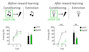 Lateral hypothalamic GABAergic neurons are necessary to encode fear memories after reward learning. Usually, GABAergic neurons in the lateral hypothalamus are involved in learning about positive or rewarding experiences. Here, we tested whether optogenetic inhibition of GABAergic neurons in lateral hypothalamus would have any impact on the encoding of a fear memory. To test this, we opotogenetically inhibited GABAergic neurons in the lateral hypothalamus during a stimulus that was predictive of shock, to see if this would impact on the ability of subjects to associate the stimulus and shock together, usually indexing the creation of a memory of the fearful event. We found that inhibition of these neurons during a shock-predictive stimulus had not impact in naive subjects (left). However, this same manipulation significantly reduced the encoding of the stimulus-shock memory in rats that had previously experience reward learning (right). This demonstrates that GABAergic neurons in the lateral hypothalamus are recruited for learning about fearful experiences after experience with reward learning.