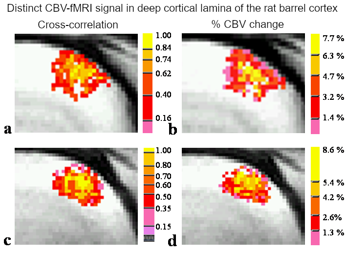Spatial correlations of laminar BOLD and CBV responses to rat whisker stimulation with neuronal activity localized by Fos expression.